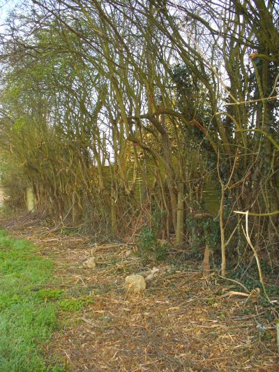ancient hedgerow after receiving council care
