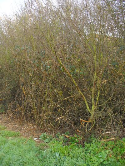 ancient hedgerow before receiving council care