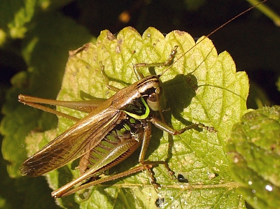female Roesel's bush-cricket (Metrioptera roeseli f. diluta) on lemon balm