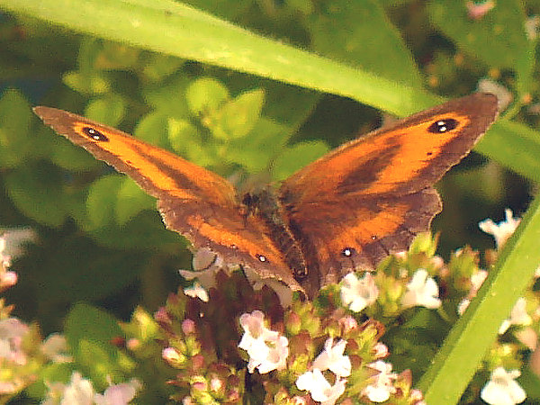 gatekeeper butterfly foraging on oregano